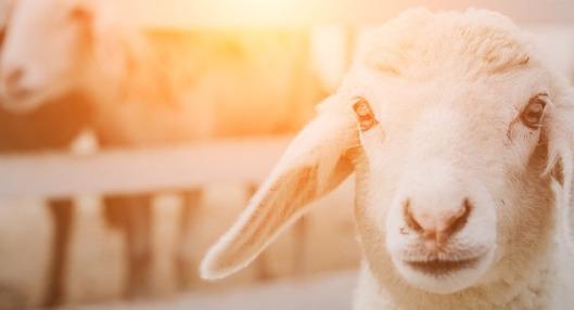 sheep-1587530_640